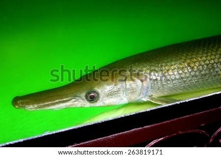 Alligator Fish - stock photo
