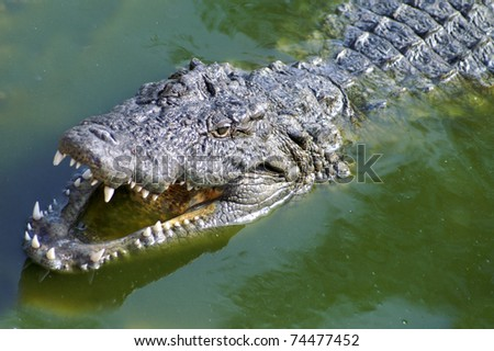 Alligator hunting in the rivers of Africa - stock photo