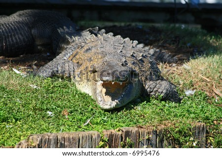 alligator in a park in Florida State - stock photo