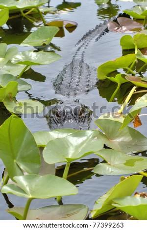 Alligator in Natural Habitat-National Park- Big Cypress National Preserve - stock photo