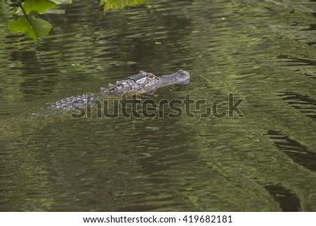 Alligator in the wild/Alligator/Predator reptile luring in the swamp - stock photo