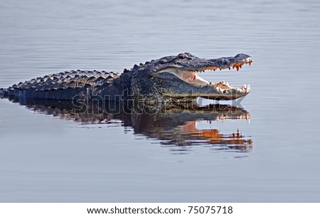 Alligator in the wild,Upper Myakka Lake,Sarasota,Florida. - stock photo