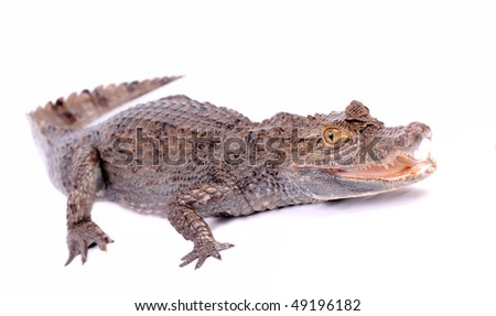 alligator isolated on a white - stock photo