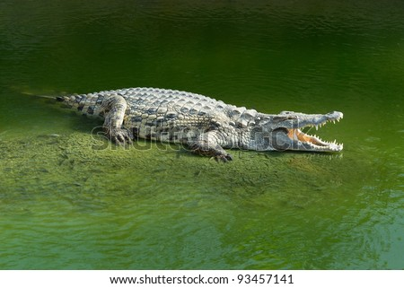 Alligator Mississipiensis wide open mouth - stock photo