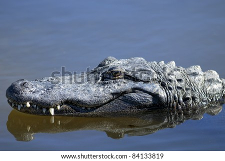 alligator mississippiensis, american alligator - stock photo
