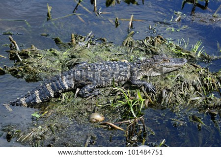 alligator mississippiensis, american alligator, circle b bar reserve, florida - stock photo