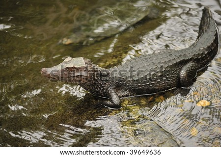 alligator on alert in the water of a river - stock photo