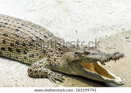 alligator relax - stock photo