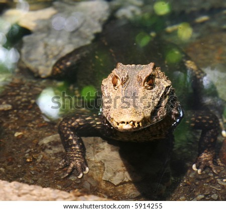 Alligator sitting and waiting for prey - stock photo