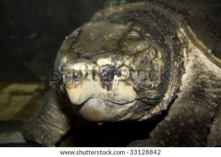Alligator Snapping Turtle (Macrochelys temminckii) under water - stock photo