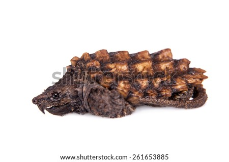Alligator snapping turtle on white - stock photo