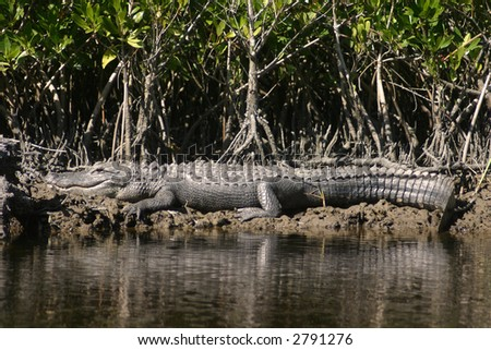 Alligator Sunning on the Bank in the Everglades