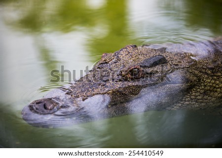 Alligator swimming quietly on the surface of the water  - stock photo