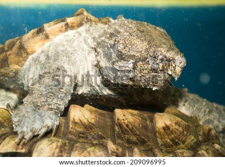 Alligator turtle underwater waiting for their prey. - stock photo