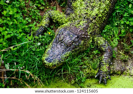Alligator with pond moss camouflage - stock photo