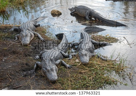 Alligators in the Everglades - stock photo