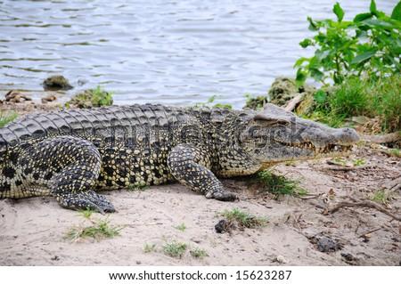 Alligators on natural habitat on Guama Lagoon, Cuba - stock photo