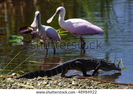 Alligators & Roseate Spoonbills in the Florida Everglades - stock photo