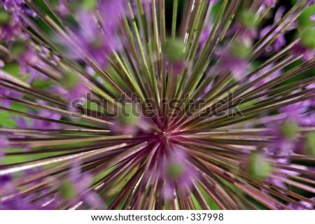 Allium Flower Spines - stock photo