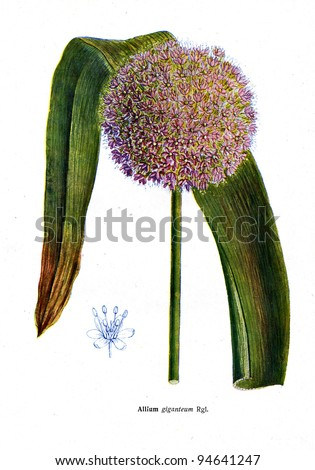 """Allium giganteum Rgl - an illustration from the book """"Species of flowers bulbes of the Soviet Union"""", Moscow, 1935 - stock photo"""
