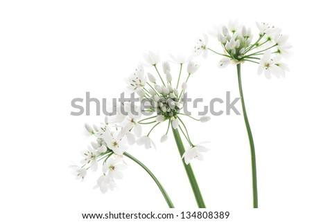 Allium neapolitanum isolated on white background - stock photo