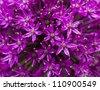 Allium. Purple onion flower for you design - stock photo