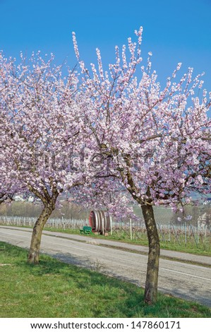 Almond Blossom at the famous German Wine Route in Rhineland-Palatinate,Germany