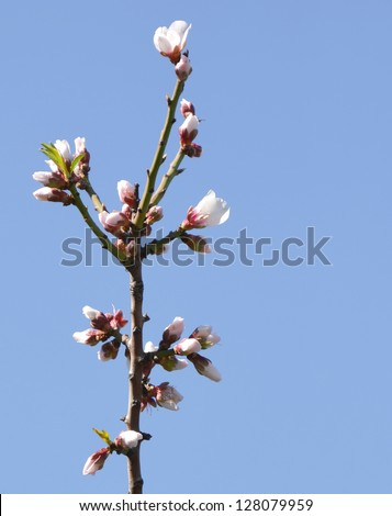 Almond Blossom Branch against Sky - stock photo