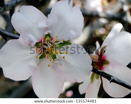 Almond Blossom in Bloom - stock photo