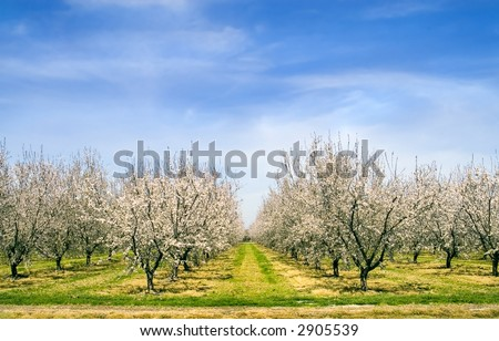 Almond blossoms in Spring. - stock photo