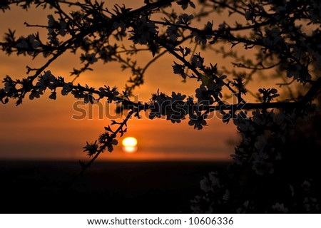 Almond branches in an orchard at sunset. - stock photo