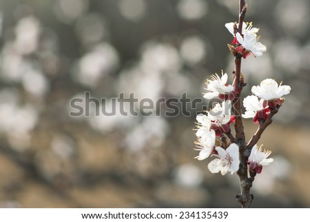 almond buds and flowers - stock photo
