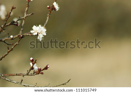almond buds and flowers, blur background