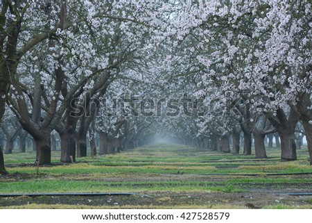 almond farm flower blooming in california