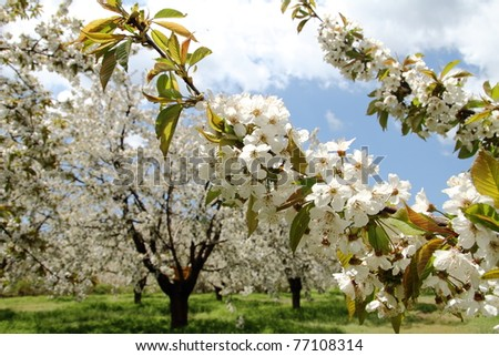 Almond flower trees at spring - stock photo