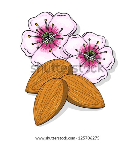 Almond flowers and nuts illustration; Tree nuts drawing