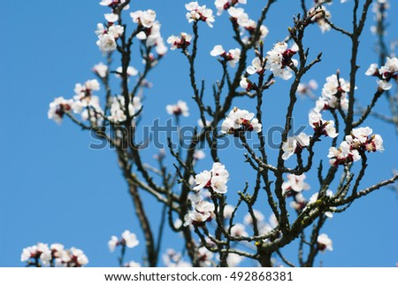 almond flowers branch with blue sky, spring background