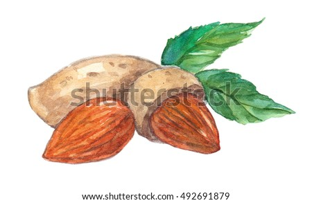 Almond isolated on white background. Hand drawn watercolor illustration
