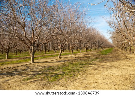 almond orchard just prior to bloom