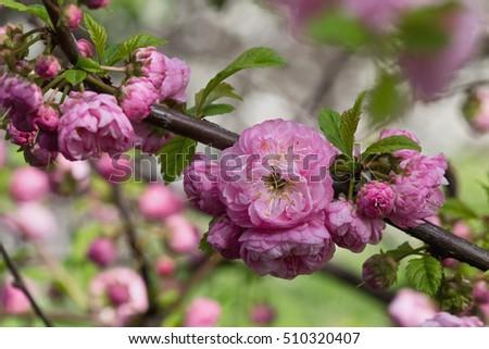 Almond pink flowers on branch closeup stock photo 100 legal almond pink flowers on a branch closeup mightylinksfo