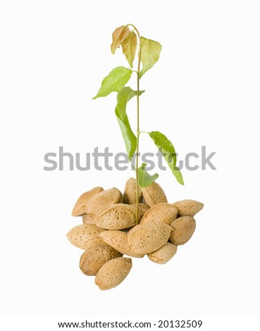 almond seeds with growing branch - stock photo