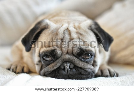 Almond The Pug - stock photo