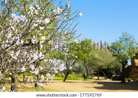 Almond tree and Temple of Juno. Valley of the Temples in Agrigento on Sicily, Italy - stock photo