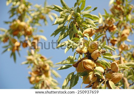 Almond tree at the harvest time. California, USA - stock photo