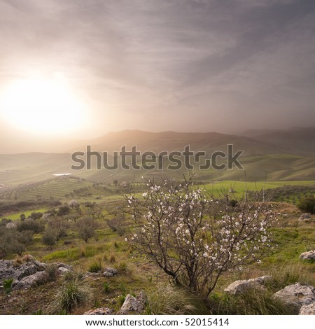 almond tree blooming in landscape of sicilian hinterland in a misty sunset - stock photo