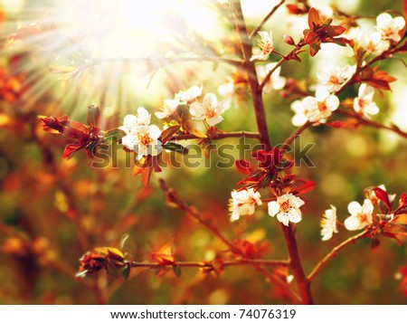 Almond tree blossom at spring over green natural background with sun light - stock photo
