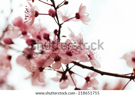almond tree  branch in spring blooms garden - stock photo