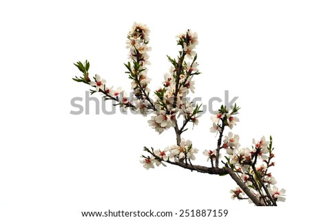 Almond tree branch with pink flowers green leaves and buds on white background. - stock photo