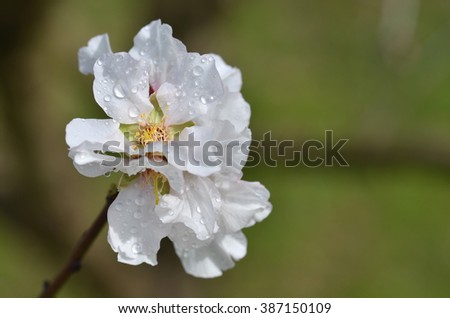 Almond Tree Flowers And Spring Blossoms With Water Drops