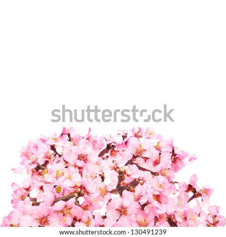 almond tree pink flower  with branch isolated on white background.